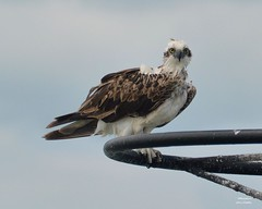 DSC_0005 (RUMTIME) Tags: bird nature birds flight feathers feather queensland osprey coochie coochiemudlo