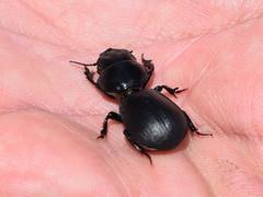 Ground beetle (dracophylla) Tags: tasmania coleoptera carabidae groundbeetle scaraphites lakestrahan