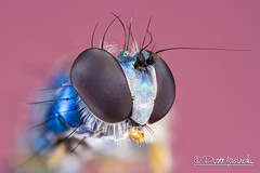 Fly (Karlgoro1) Tags: pink color macro eye field animal closeup canon bug insect eos fly photo eyes focus bright head background stack 7d depth f28 stacker mpe 65mm zerene macrolife