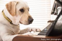That time Mav was musical. (floppyearsphotography) Tags: music dog labrador piano beethoven bach chopin petphotography 52weeks maverickmonday