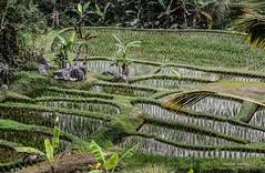 20150913145127.jpg (Marisa y Angel) Tags: bali ricefields paddyfields 2015 jatiluwih camposarroz