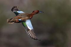 Cinnamon Teal (JacaRandaPhotography) Tags: duck san teal cinnamon wildlife joaquin sanctuary bif