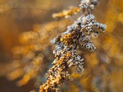 May golden lights brighten your days (Karsten Gieselmann) Tags: winter orange brown color season gold frost dof bokeh jahreszeit olympus braun farbe sonnenaufgang schrfentiefe m43 mft vintagelens domiplan50mmf28 microfourthirds em5markii kgiesel