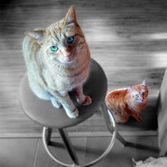 Chicco & Willy 31-01-2016 (boni_villasirga) Tags: portrait pet cats pets colour verde green 6x6 beautiful beauty cat square eyes kitten retrato indoor gatos gato mascota mascotas cuadrado 500x500 cuadrada