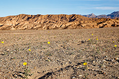 Death Valley Flowers, January 2016 (1) (Bob Palin) Tags: california flowers 15fav usa 510fav canon landscape rocks desert outdoor deathvalley desertgold 100vistas instantfave canonef24105mmf4lisusm flowerpicturesnolimits orig:file=2016012604377