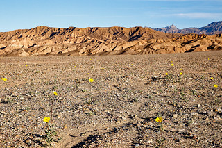 Death Valley Flowers, January 2016 (1)