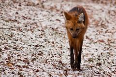 TiergartenNurnbergJan11 018.jpg (jeolpe) Tags: tiere tiergarten raubtiere mhnenwolf nrnbergertiergarten landtiere 1homepage