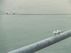 2/2 (Pra Erika) Tags: city bridge bird water animal river hungary cityscape budapest
