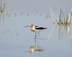 American Avocet at Summer Lake NWR, OR (Wayne~Chadwick) Tags: spring2015nikonp900easternoregon