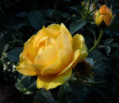 yellow rose (Sky_PA) Tags: flowers friends light flower green nature beautiful leaves rose yellow closeup canon outdoors leaf colorful friendship blossom depthoffield lightandshadow flickrfriends inspiredbylove amateurphotography sx50