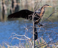 20160213-_74P6818.jpg (Lake Worth) Tags: bird nature birds animal animals canon wings florida wildlife feathers wetlands everglades waterbirds southflorida birdwatcher canonef500mmf4lisiiusm