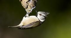 Crested Tit (J J McHale) Tags: bird nature scotland highlands wildlife cairngorms birdwatcher crestedtit crestie