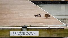 Privacy (jmishefske) Tags: wisconsin march nikon downtown ducks lakemichigan shore milwaukee mallard lakefront 2016 d800e