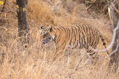 Hidden in the Grass (jeff_a_goldberg) Tags: india tiger rajasthan ranthambore in bengaltiger ranthamborenationalpark kacheedakalan