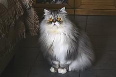 Whoa (Leotorda) Tags: surprised whoa gatto mirko persiano persiancat