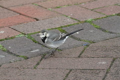 Pied Wagtail (roger_forster) Tags: hampshire lame highstreet piedwagtail gosport motacillaalba bunions growths
