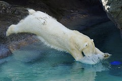 Happy Leap Day! (ucumari photography) Tags: ucumariphotography anana polarbear ursusmaritimus oso bear animal mammal nc north carolina zoo osopolar ourspolaire oursblanc eisbär ísbjörn orsopolare полярныймедведь 2016 february dsc0419 leapyear leapday specanimal 北極熊