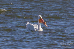 American White Pelican fishing sequence - 20 of 20