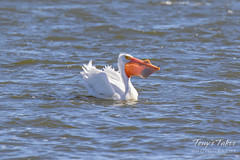 American White Pelican fishing sequence - 14 of 20
