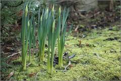 Noch fest verschnürt (julia_HalleFotoFan) Tags: grün moos narzissen knospen