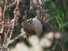 Regolo...Happy easter (quarzonero ...Aldo A...) Tags: bird nature coth regolo coth5