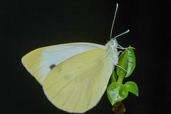 Kleiner Kohlweiling Pieris rapae 160329 002.jpg (juergen.mangelsdorf) Tags: butterfly schmetterling pieridae tagfalter weislinge