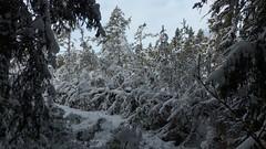 Snowy forest (Cape Porkkalanniemi, Kirkkonummi, 20160123) (RainoL) Tags: winter snow forest finland geotagged frost january fin 2016 uusimaa porkala nyland kirkkonummi porkkala kyrksltt porkkalanniemi 201601 fz200 porkalaudd 20160123 geo:lat=5997296243 geo:lon=2439829353