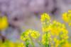菜の花 (milk777) Tags: 菜の花 幸手 権現堂