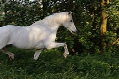 Fips (feldweg) Tags: horse white caballo cheval welsh cavallo blanc pferd hest fips kon schimmel araber