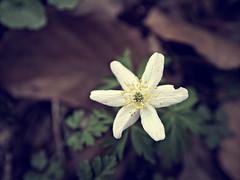 2016-04-03_13-40-30 (torstenbehrens) Tags: flower nature dc bokeh sigma panasonic f28 1850mm dmcg1