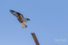 Male Osprey tosses grass toward its nest - Sequence - 3 of 19