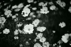 Cosmos (Shoji Kawabata. a.k.a. strange_ojisan) Tags: new bw white black flower film monochrome japan analog 35mm lens mono tokyo photo lomo lomography fuji bokeh neopan 100 zenit analogphotography cosmos acros  photogrpahy analogphoto filmphotography    kenko  filmphoto  westtokyo petzval   kf1n