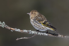 Pine siskin (Phiddy1) Tags: snow its great beak he sho
