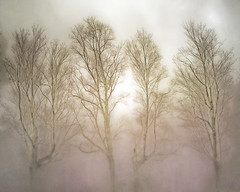 four bare trees in the mist (Hal Halli) Tags: mist tree nature forest four spring wallart innamoramento daarklands