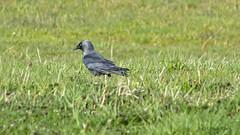 Dohle (Corvus monedula) (ursula.kluck) Tags: natur wiese vogel rieselfelder rabenvogel dohle schwarzervogel