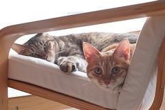 DSC09014 (lazybonessss) Tags: leica cat momo kitten nana kitten2 elmaritm90 sonya7 sonyilce7