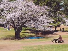 光が丘公園 (かがみ~) Tags: japan tokyo panasonic 桜 日本 sakura 東京 nerima さくら gx8 hikarigaoka 練馬 光が丘 14140ii