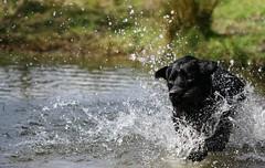 Giggsy splashing around (mikegrundy7) Tags: dog pet nature wet water smile face animal swimming fur outside outdoors happy pond eyes funny head running run splash splashing suing wetfur