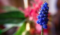 perles de rose (Yasmine Hens) Tags: flower fleur drops europa flickr belgium ngc violet drop namur hens yasmine gouttes wallonie perles world100f iamflickr flickrunitedaward sonyflickraward sonyrx100m3 hensyasmine