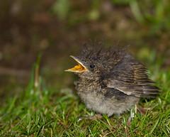Feed me, Mum! (Mukumbura) Tags: baby cute bird robin young adorable fledgling