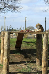 My Food (LittleEvelynnMakes) Tags: park food zoo photo high outdoor wildlife yorkshire tiger border down chillin meat bone plinth laying doncaster photoborder