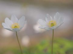 P1310301 (clara.tardis) Tags: flowers lumix olympus g6 45mm