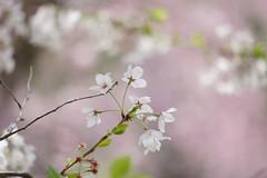 () /Prunus x yedoensis (nobuflickr) Tags: flower nature japan kyoto    thekyotobotanicalgarden prunusxyedoensis tokyocherry  yoshinocherry  awesomeblossoms  20160409dsc06586