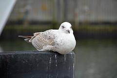 Rostock-Warnemnde - Mwe am Alten Strom (www.nbfotos.de) Tags: bird warnemnde seagull gull mwe rostock vogel mecklenburgvorpommern alterstrom