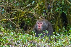 Harry_28956b,,,,,,,,,,,,, (HarryTaiwan) Tags: monkey nationalpark nikon taiwan    d800 nantou          yushannationalpark  formosanrockmonkey      harryhuang hgf78354ms35hinetnet adobergb