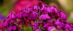 Purple Patch (acwills2014) Tags: flowers purple vivid madeira