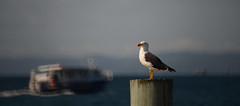 The Seagirl and the Bokboat (Ptolemy the Cat) Tags: sea bird boat seaside bokeh seagull nikond600 georgelens nikonf8500mmreflexlens