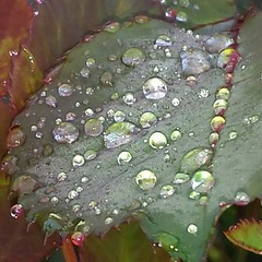 Chaykin - Morning Dew (tchaykin) Tags: nature water garden photography droplets dew organic naturalbeauty morningdew roseleaf