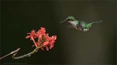 Booted Racket-tail in Ecuador (Raymond J Barlow) Tags: red nature hummingbird wildlife naturallight workshop birdinflight phototours raymondbarlow
