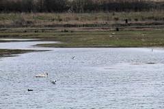 North Cave Wetlands (nataliemarchant) Tags: birds swan gull yorkshire muteswan eastyorkshire shelduck blackheaded yorkshirewildlifetrust northcavewetlands